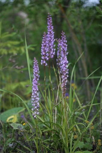 Gymnadenia conopsea  ( L .) R . Br . – Кокушник комарниковый