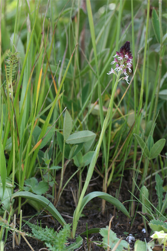 Orchis ustulata L.- Ятрышник обожженый.