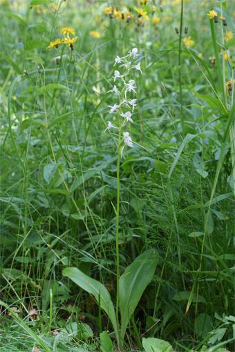 Platanthera chlorantha  ( Cust .) Rchb . – Любка зеленоцветковая