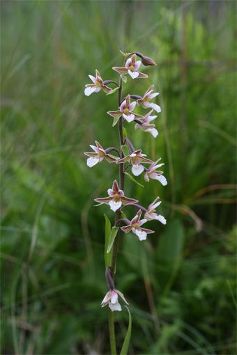 Epipactis palustris  (Mill.) Crantz – Дремлик болотный