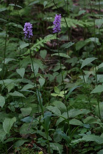 Dactylorhiza fuchsii (Druce) Soó – Пальчатокоренник Фукса