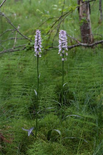 Dactylorhiza maculata (L.) Soó – Пальчатокоренник пятнистый