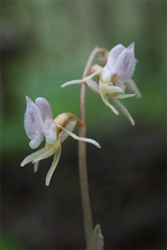 Epipogium aphyllum (F.W. Schmidt) Sw. – Надбородник безлистный