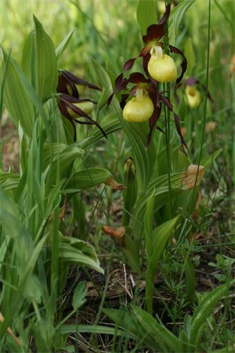 Cypripedium calceolus L. – Венерин башмачок настоящий