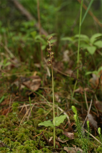 Listera cordata (L.) R. Br. – Тайник сердцевидный