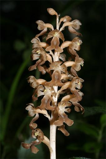 Neottia nidus-avis  (L.) Rich. – Гнездовка обыкновенная