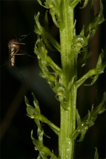 Malaxis monophyllos  (L.) Sw. – Мякотница однолистная